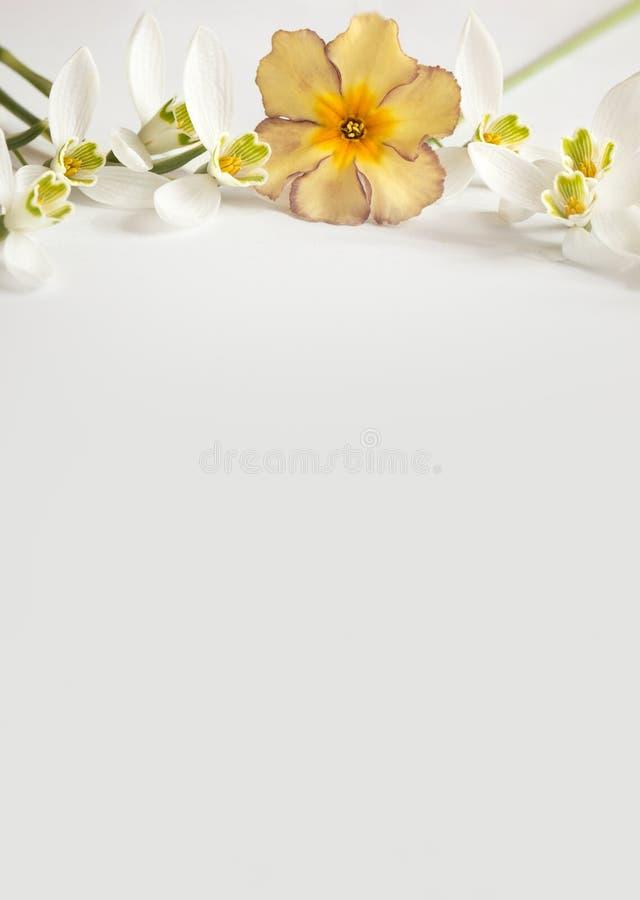 Flor macro da mola - snowdrops Gallanthus e prímulas isoladas no fundo branco fotos de stock
