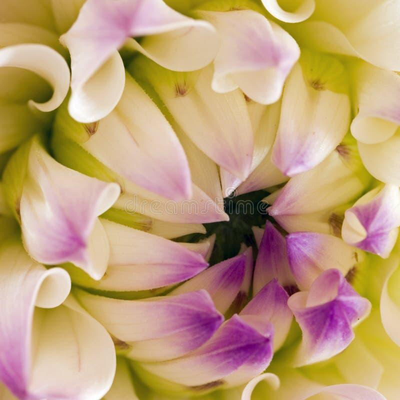 Flor macro de la dalia de Nepos sq fotos de archivo libres de regalías