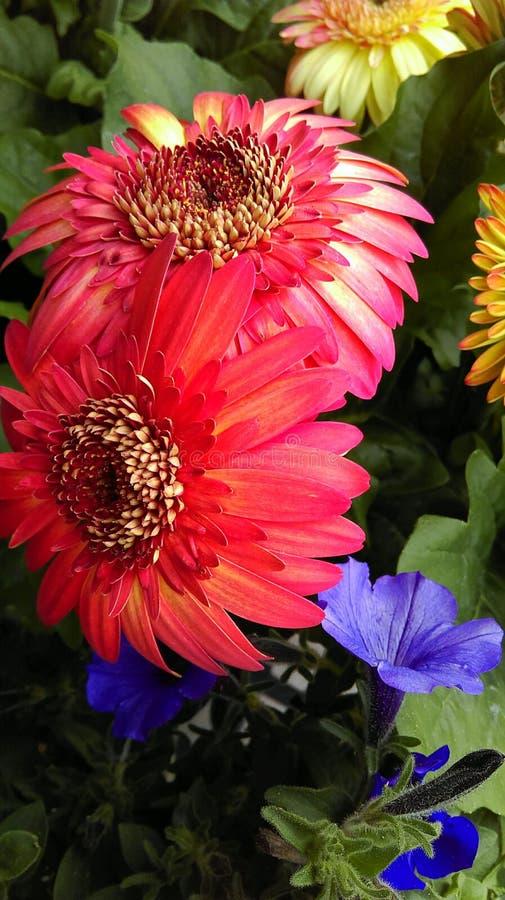 Flor magenta imagem de stock
