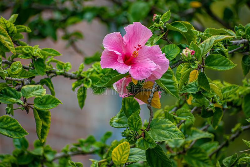 Flor magenta bonita na cidade 1 de Ybor imagens de stock royalty free