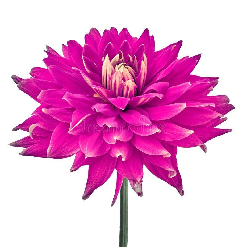 Flor magenta da dália isolada em um fundo branco Close-up Flor em uma haste imagem de stock royalty free