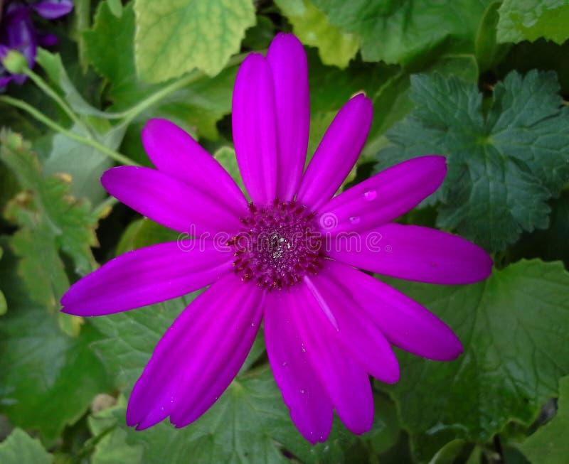 Flor magenta de Senetti fotos de archivo libres de regalías
