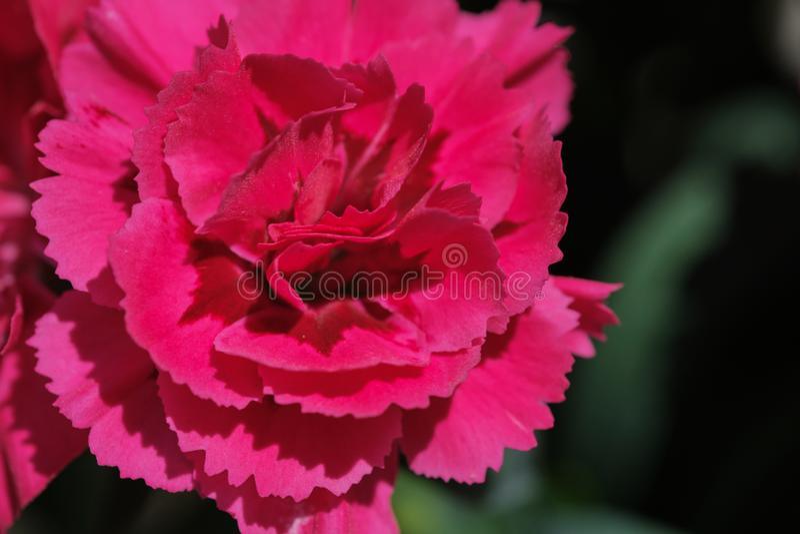 Flor magenta do cravo, foto a cores macro fotografia de stock royalty free