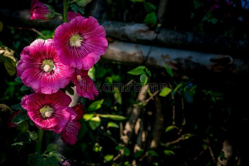Flor magenta nas folhas verdes fotos de stock royalty free
