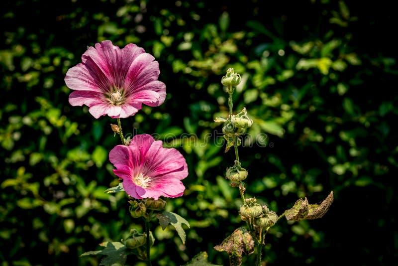 Flor magenta nas folhas verdes imagens de stock royalty free