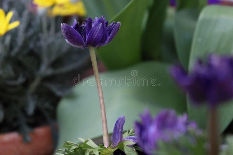 Flor magenta/violeta com um fundo borrado imagem de stock