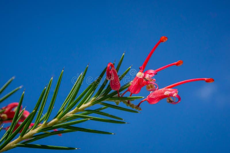 Flor magnífica de Grevillea no fundo claro do céu Cores cor-de-rosa e vermelhas fotografia de stock royalty free