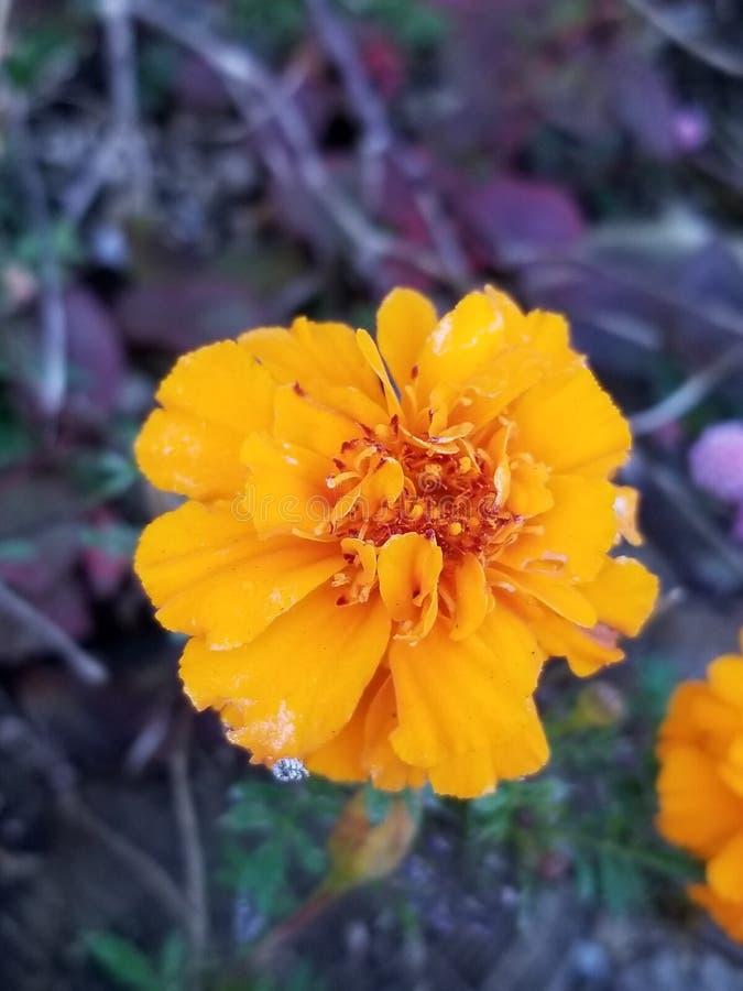Flor majestosa no outono foto de stock