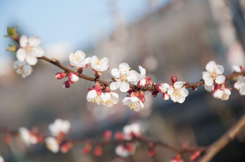 Flor maravilhosa do abricó no dia de mola ensolarado fotos de stock