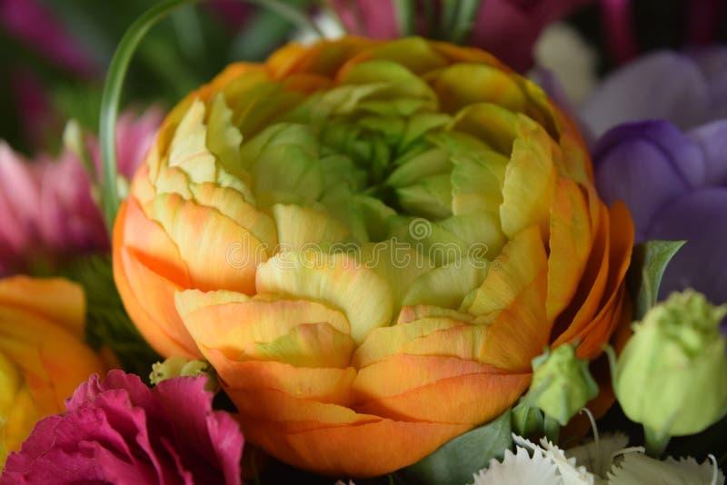 Flor maravilloso del ranúnculo foto de archivo