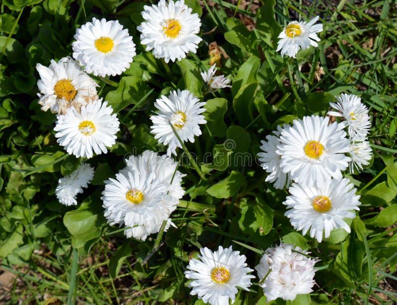flor, margarida, natureza, branco, grama, verão, mola, campo, flores, planta, verde, prado, amarelo, jardim, camomila, flor, dais fotos de stock