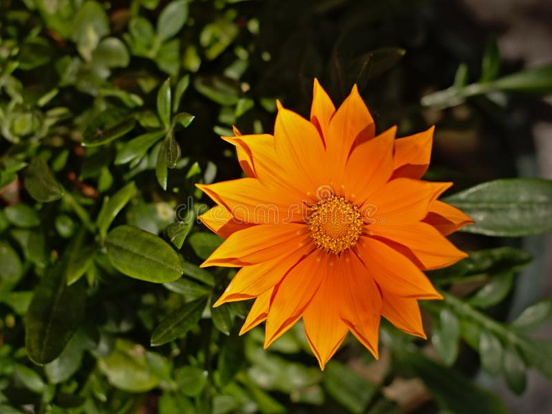 Flor marigold, vista de aproximação, vista aérea - Calendua officinalis imagem de stock