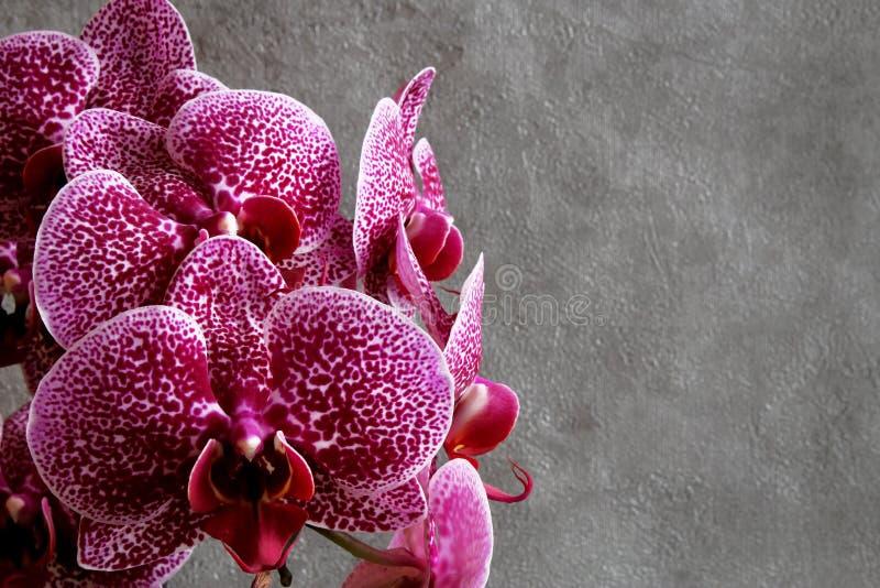 Flor marrón roja de la orquídea del phalaenopsis de las flores de las orquídeas en vagos oscuros imagenes de archivo