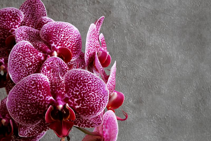 Flor marrom vermelha da orquídea do phalaenopsis das flores das orquídeas em vagabundos escuros imagens de stock