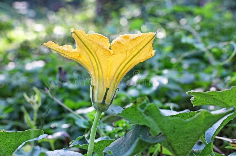 Flor masculina da abóbora na videira da planta fotografia de stock