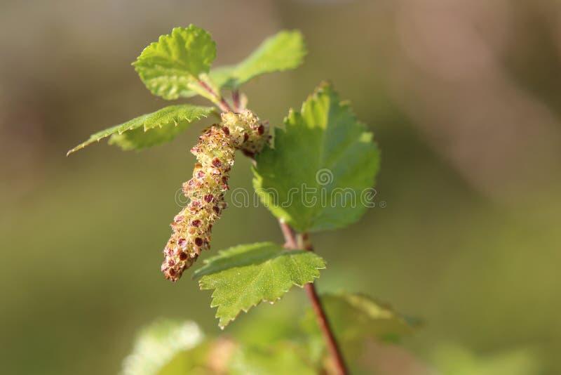 Flor masculina de pubescens da bétula, o vidoeiro fofo imagens de stock