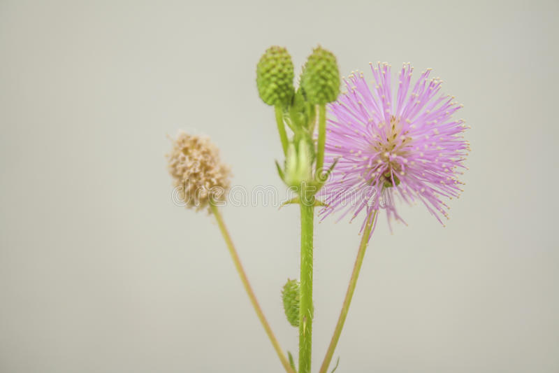 Flor medicinal do pudica da mimosa no fundo branco fotografia de stock royalty free
