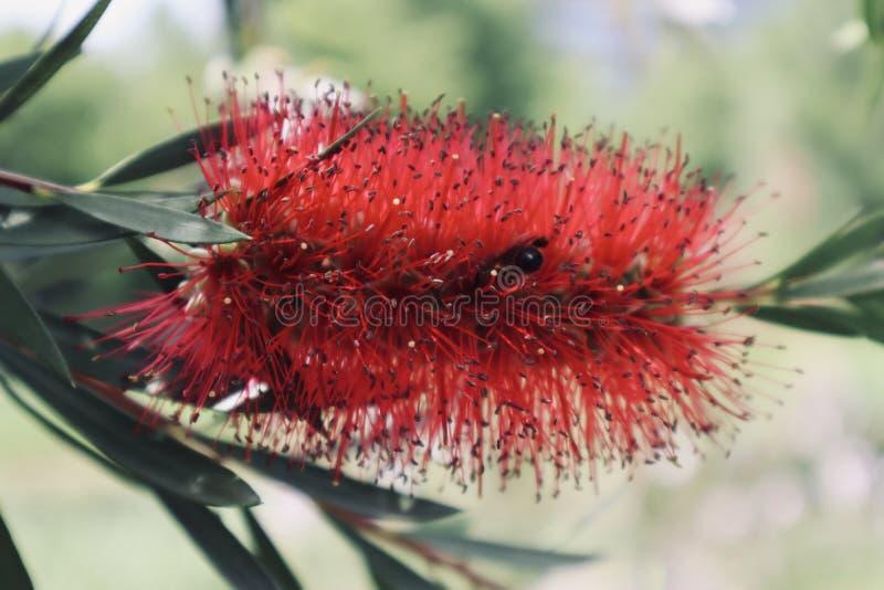 Flor melenuda roja hermosa con cierre de la avispa encima de la flor salvaje floreciente de la flor fotografía de archivo libre de regalías