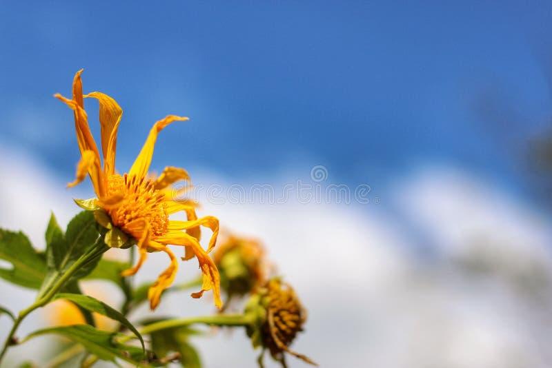 Flor mexicana fotografia de stock