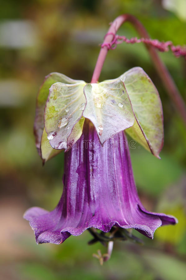 Flor mexicana de la hiedra. imagen de archivo libre de regalías