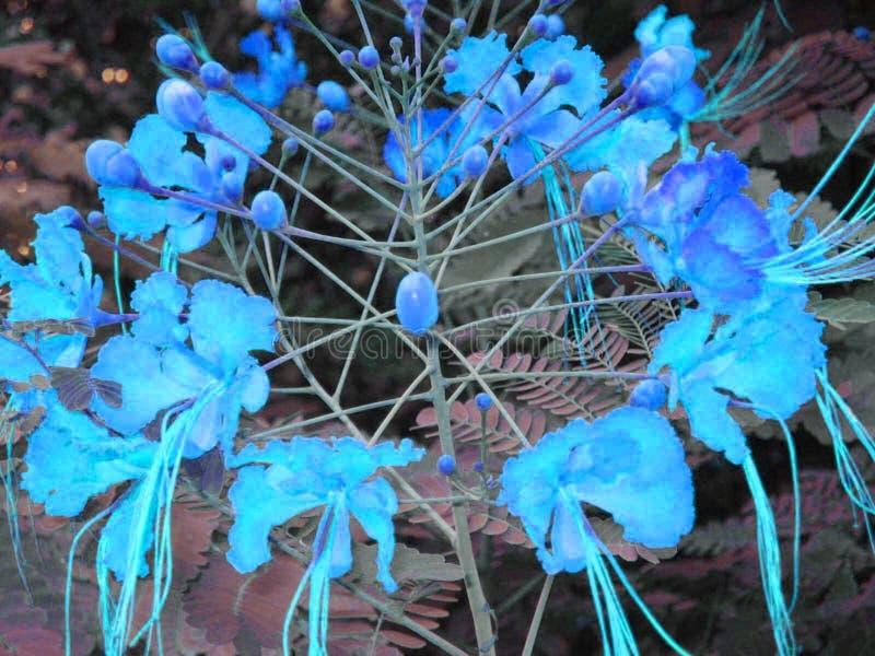 Flor azul do México. Flor Mexicana transformada na cor azul royalty free stock photography