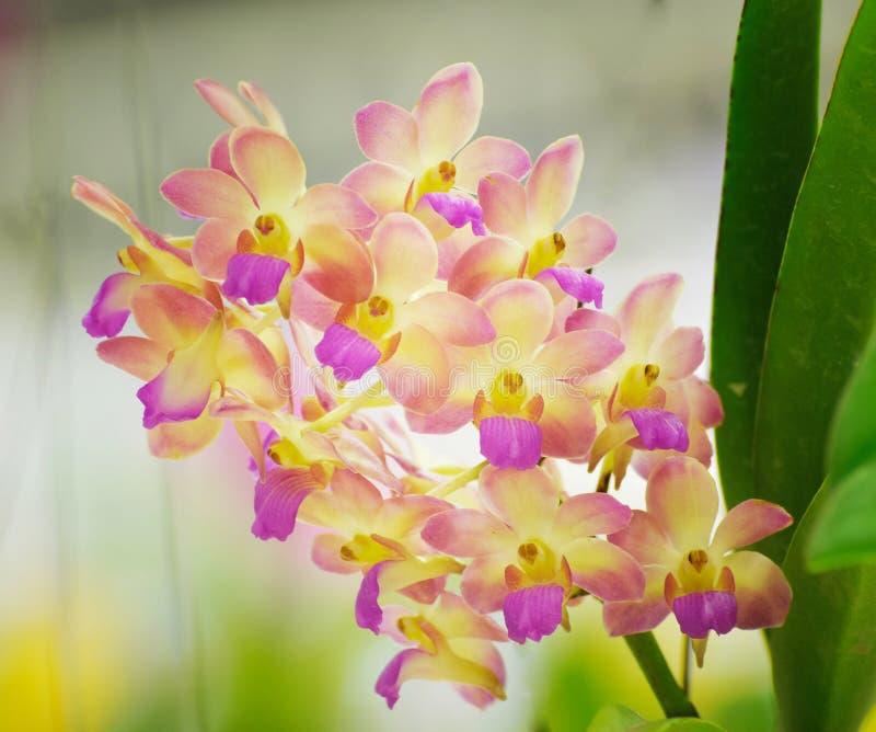 Flor mezclada de la orquídea del color imagen de archivo libre de regalías