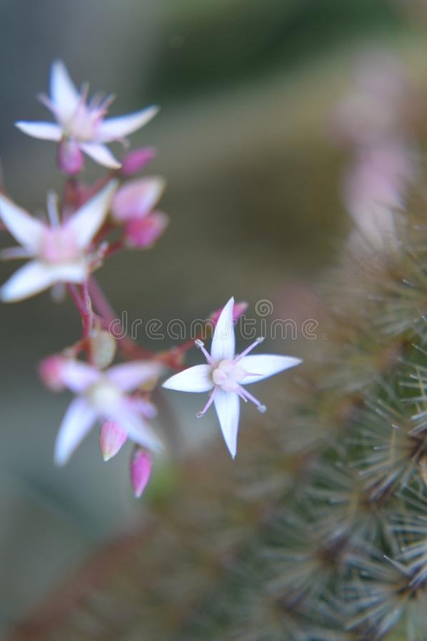 Flor minúscula branca e cor-de-rosa do cacto imagem de stock