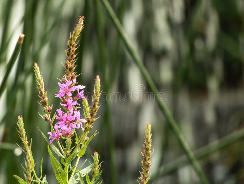 Flor minúscula cor-de-rosa bonita com espaço da cópia imagem de stock