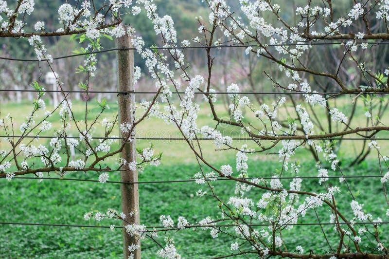 Flor minúsculo hermoso y lindo del ciruelo blanco fotografía de archivo