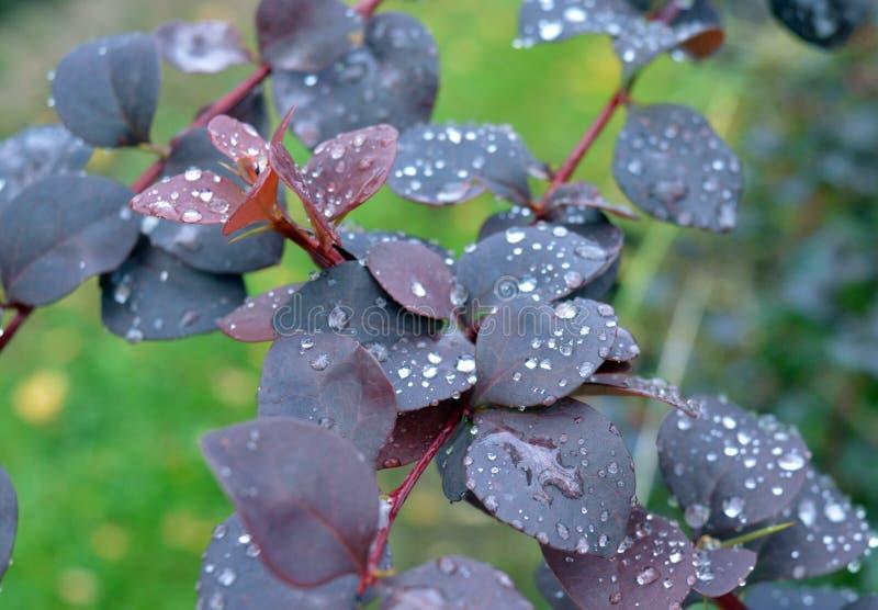 Flor, mola, natureza, lilás, roxo, flor, flores, rosa, planta, jardim, flor, beleza, verde, flora, verão, ramo, floral, foto de stock royalty free