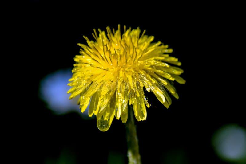 Flor molhada do dente-de-leão imagem de stock royalty free