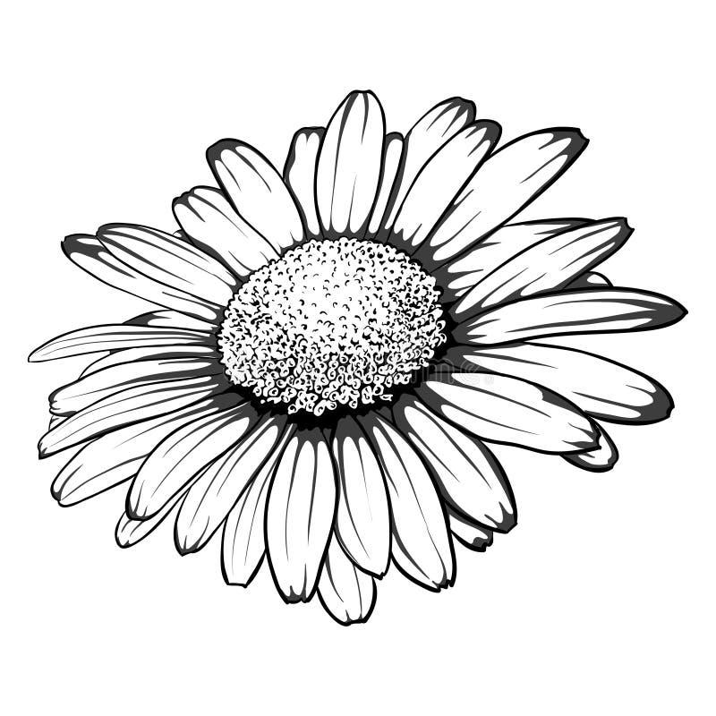 Flor monocromática, blanco y negro hermosa de la margarita aislada stock de ilustración