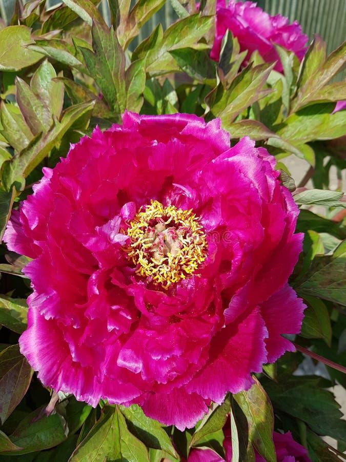 Flor morada completamente floreciente imágenes de archivo libres de regalías