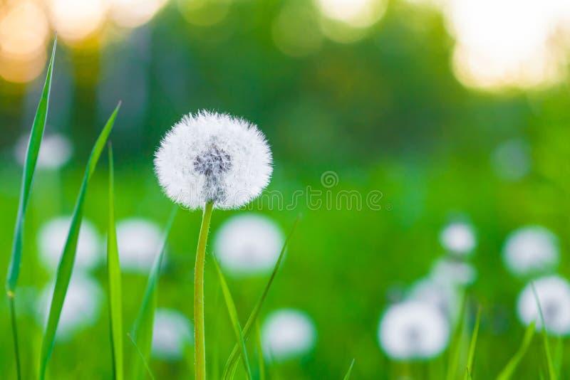 Flor mullida del diente de león al borde de una madera contra la perspectiva de la puesta del sol del verano y de la hierba verde fotos de archivo