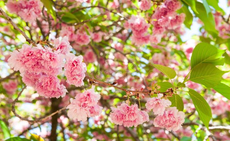 Flor na árvore. flor de cerejeira na mola imagens de stock