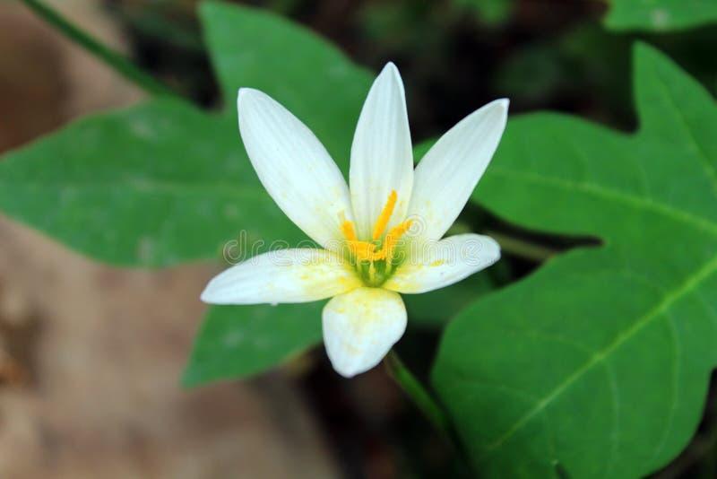 Flor na combinação branca & amarela no jardim foto de stock