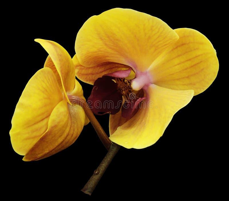 Flor naranja-amarilla de la orquídea Aislado en fondo negro con la trayectoria de recortes primer La rama de orquídeas foto de archivo libre de regalías