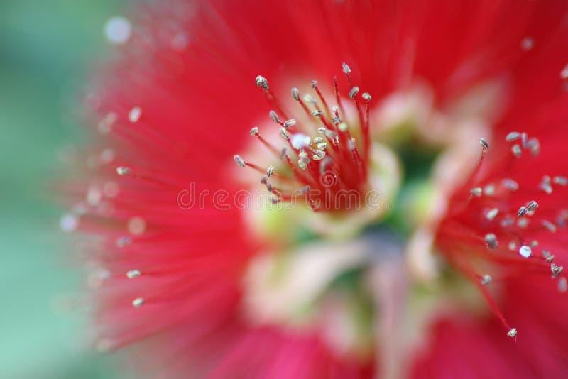 Flor nativa australiana fotografia de stock
