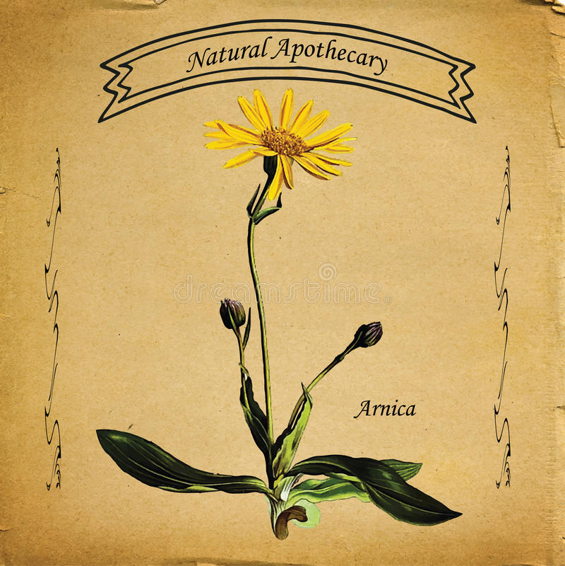 Flor natural da arnica do farmacêutico foto de stock royalty free