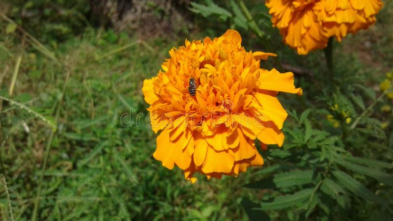 Flor natural de Daspethiya de Sri Lanka foto de stock