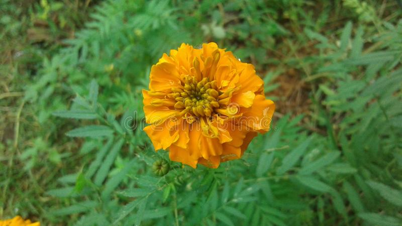 Flor natural de Daspethiya de Sri Lanka fotografia de stock