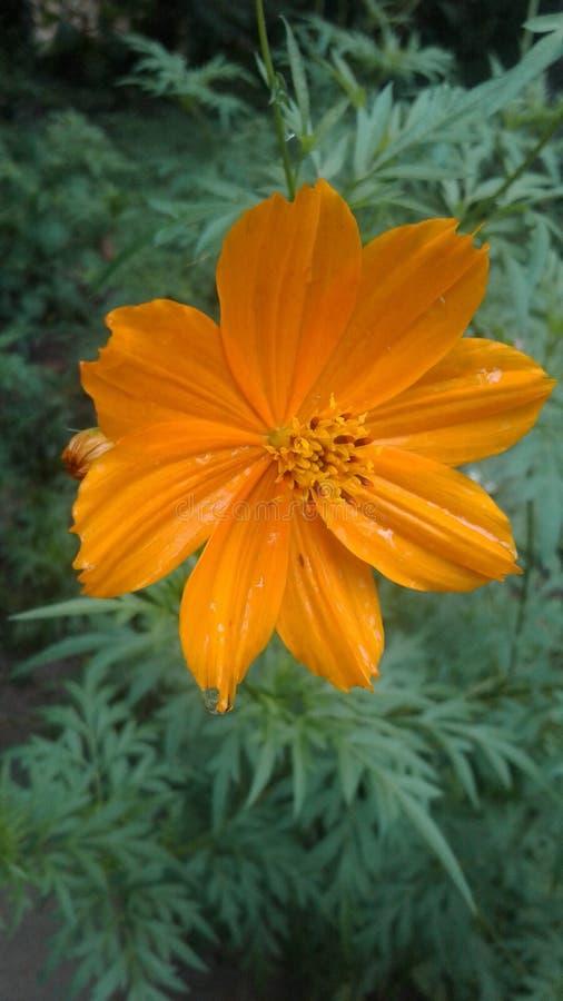 Flor natural de Daspethiya de Sri Lanka imagem de stock