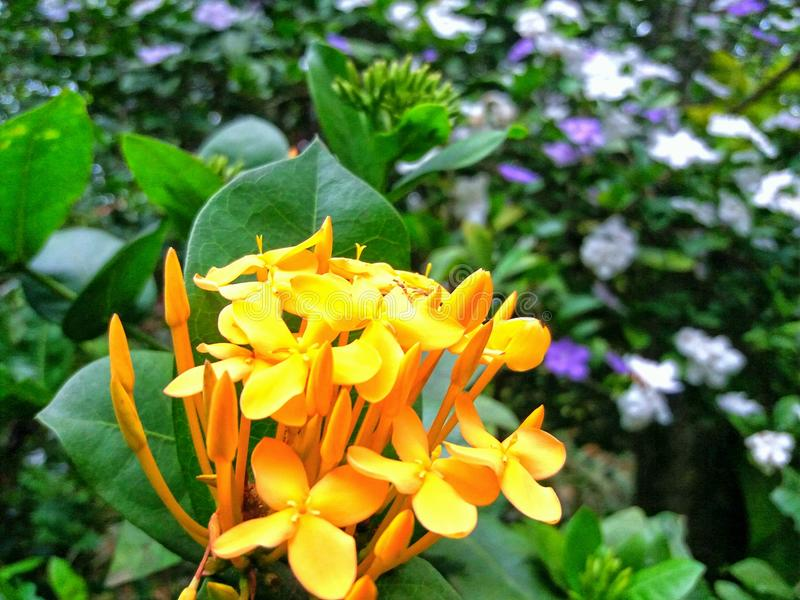 Flor natural de Ixora en Sri Lanka imagenes de archivo
