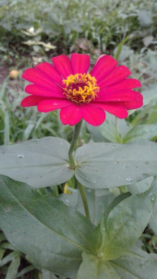Flor natural de Sri Lanka fotografia de stock