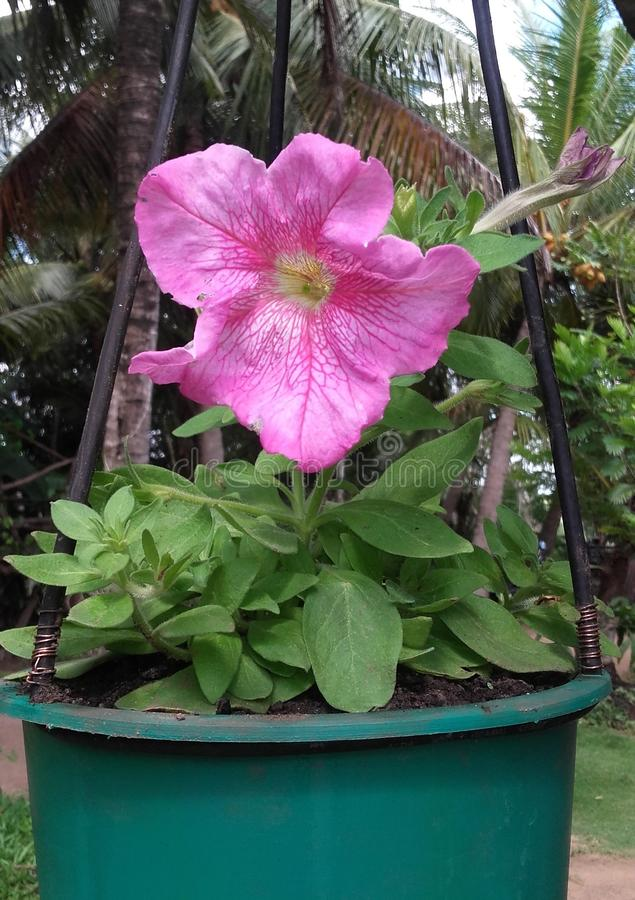 Flor natural de Sri Lanka imagem de stock