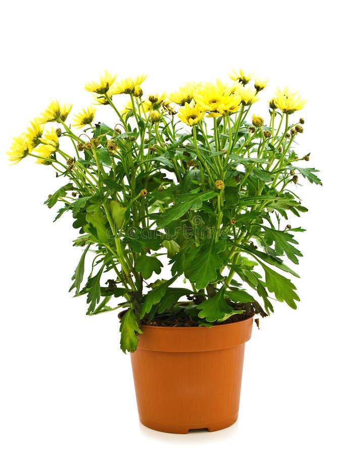 Flor no potenciômetro imagens de stock