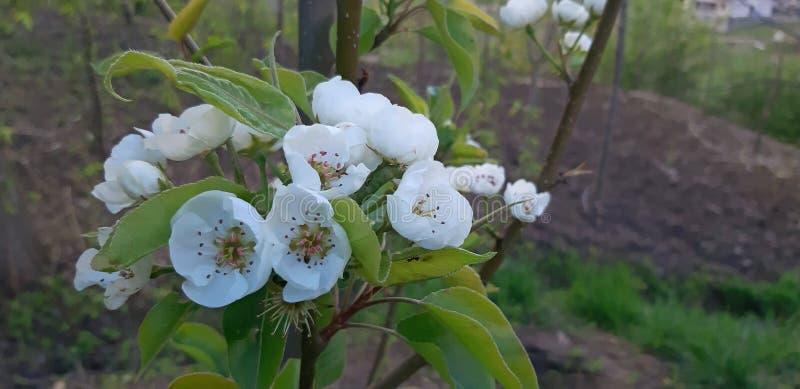 Flor nova da árvore de pera na mola, flores brancas fotografia de stock royalty free