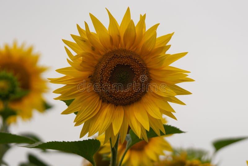 Flor nova do girassol no campo Instantâneo sem retoque imagem de stock