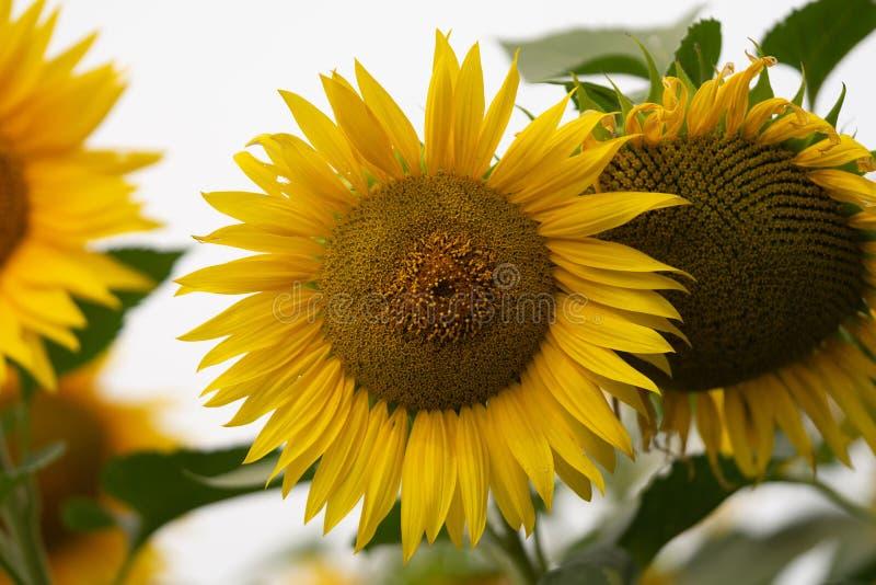 Flor nova do girassol no campo Instantâneo sem retoque foto de stock royalty free
