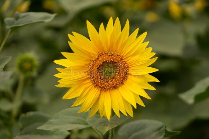 Flor nova do girassol no campo Instantâneo sem retoque imagens de stock royalty free